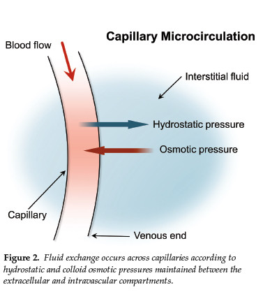 Figure 2. Fluid exchange occurs across capillaries according to hydrostatic and colloid osmotic pressures maintained between the extracellular and intravascular compartments.